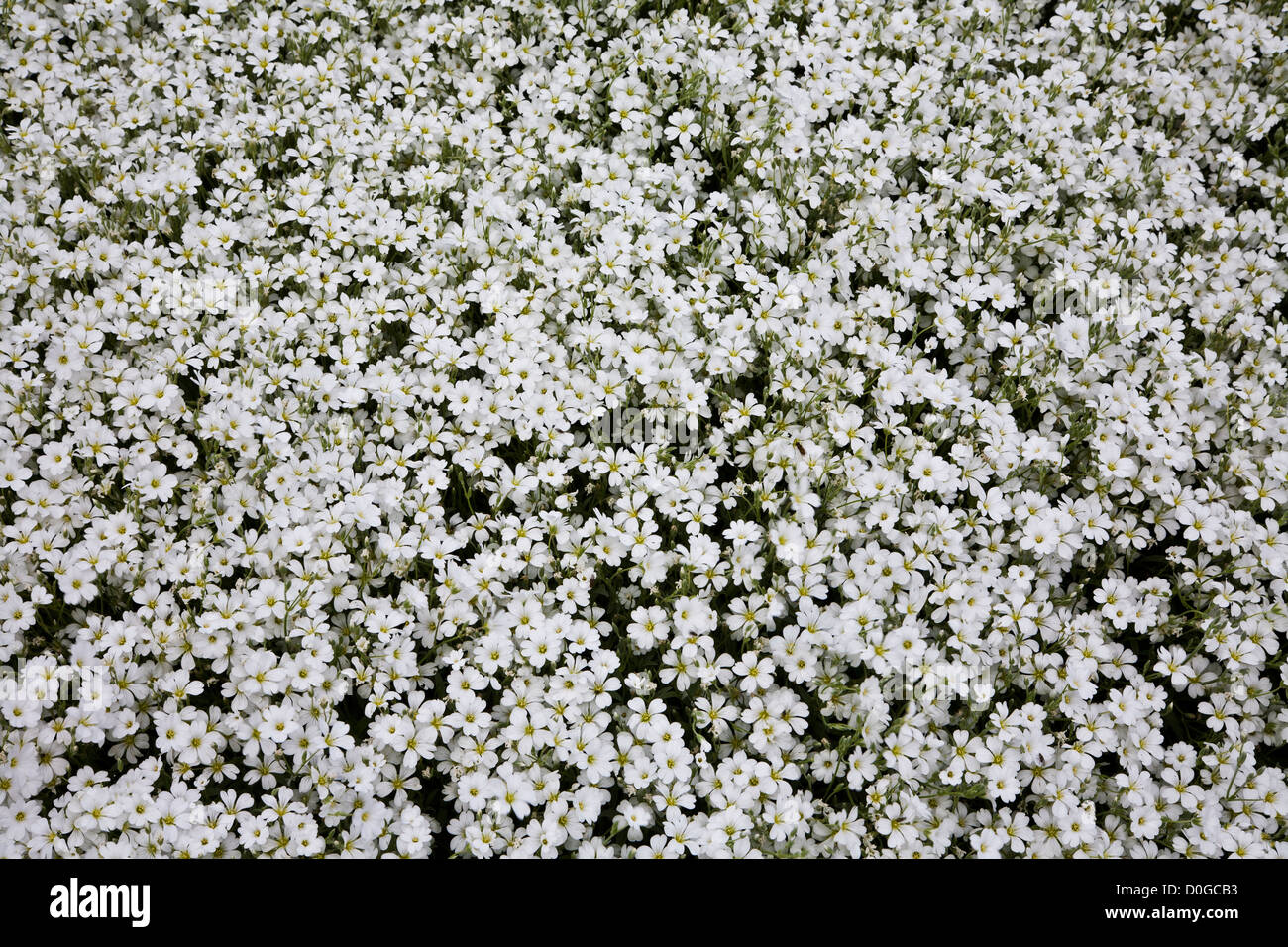 Close up of white snow in summer flowers cerastium silver carpet in close up of white snow in summer flowers cerastium silver carpet in a garden wallpaper concept lancaster county pennsylvania usa mightylinksfo