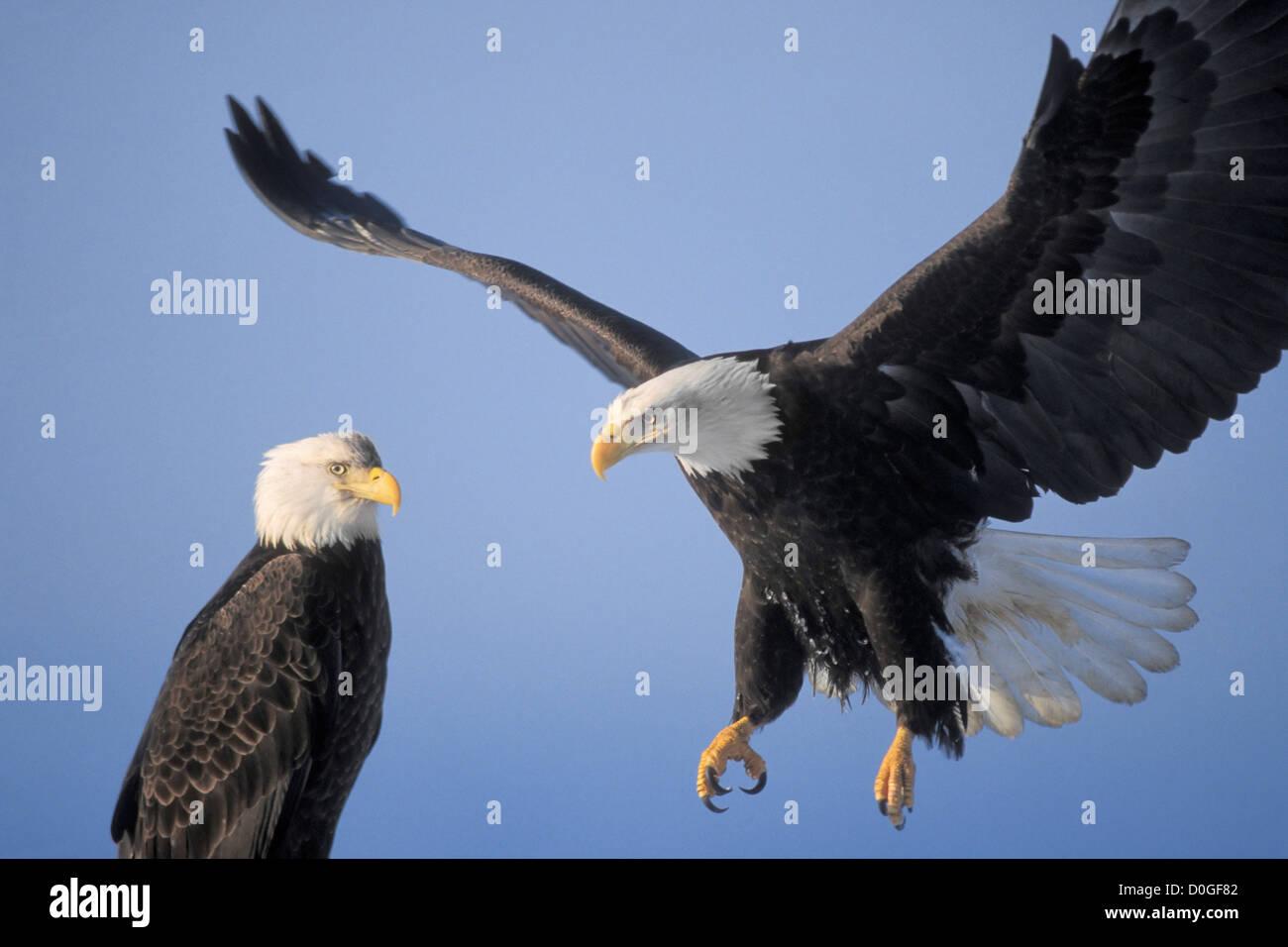 Two Bald Eagles in Homer, Alaska - Stock Image