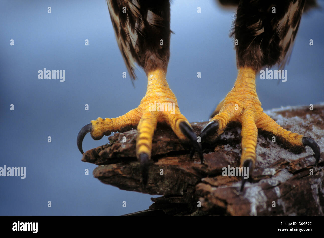 Talons of a Bald Eagle - Stock Image