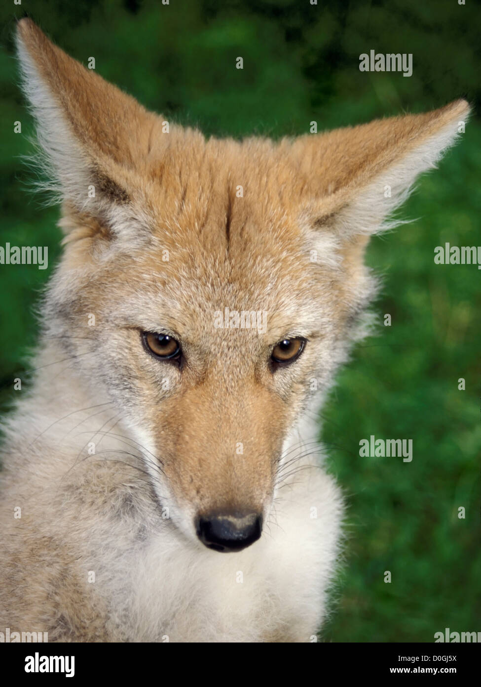 Coyote in the Foothills of the Takshanuk Mountains - Stock Image