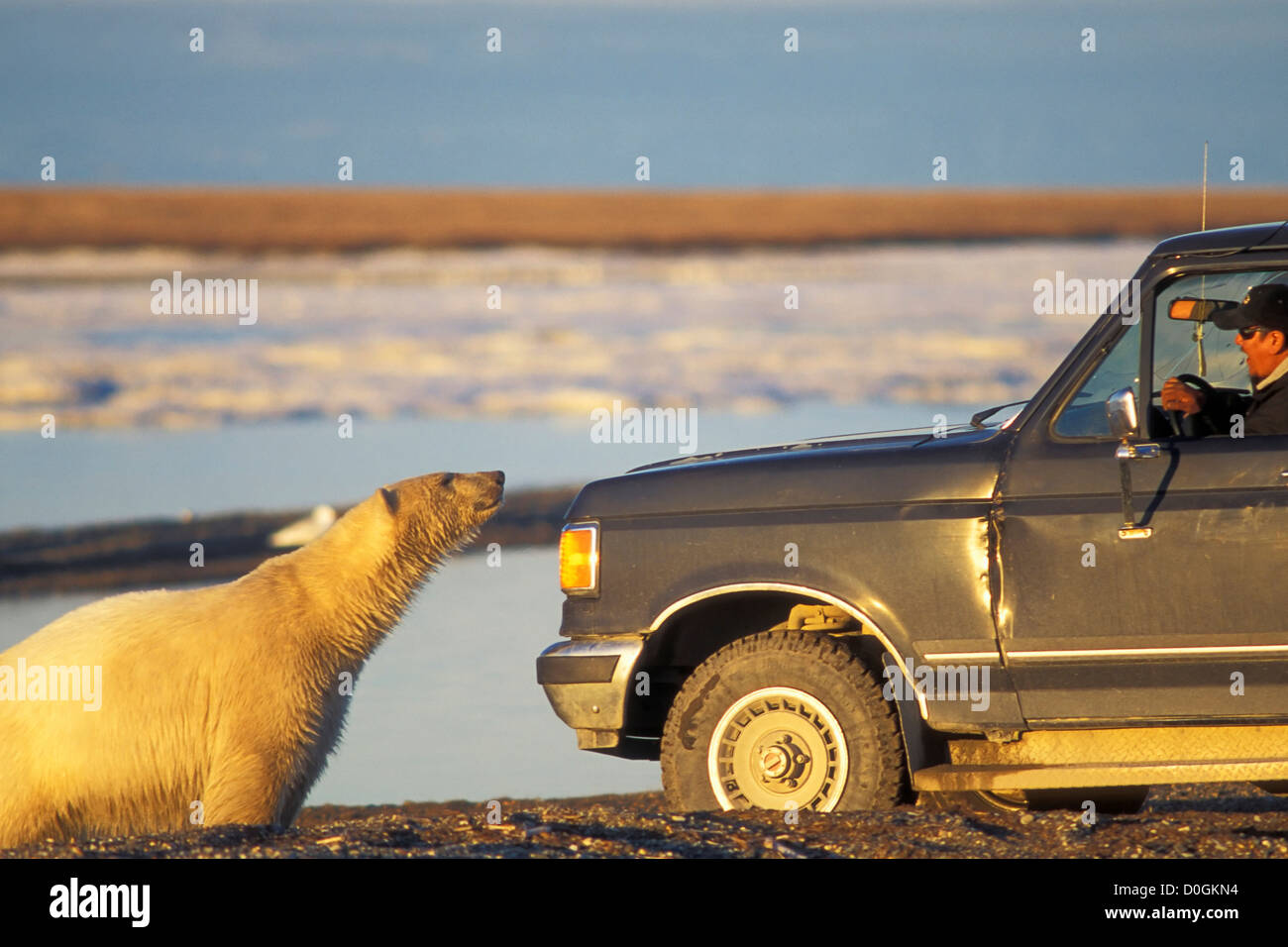 Polar Bear Investigates a Local Wildlife Observer in his Truck - Stock Image