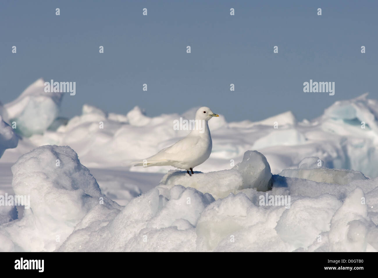 Endangered Ivory Gull on the Pack Ice - Stock Image