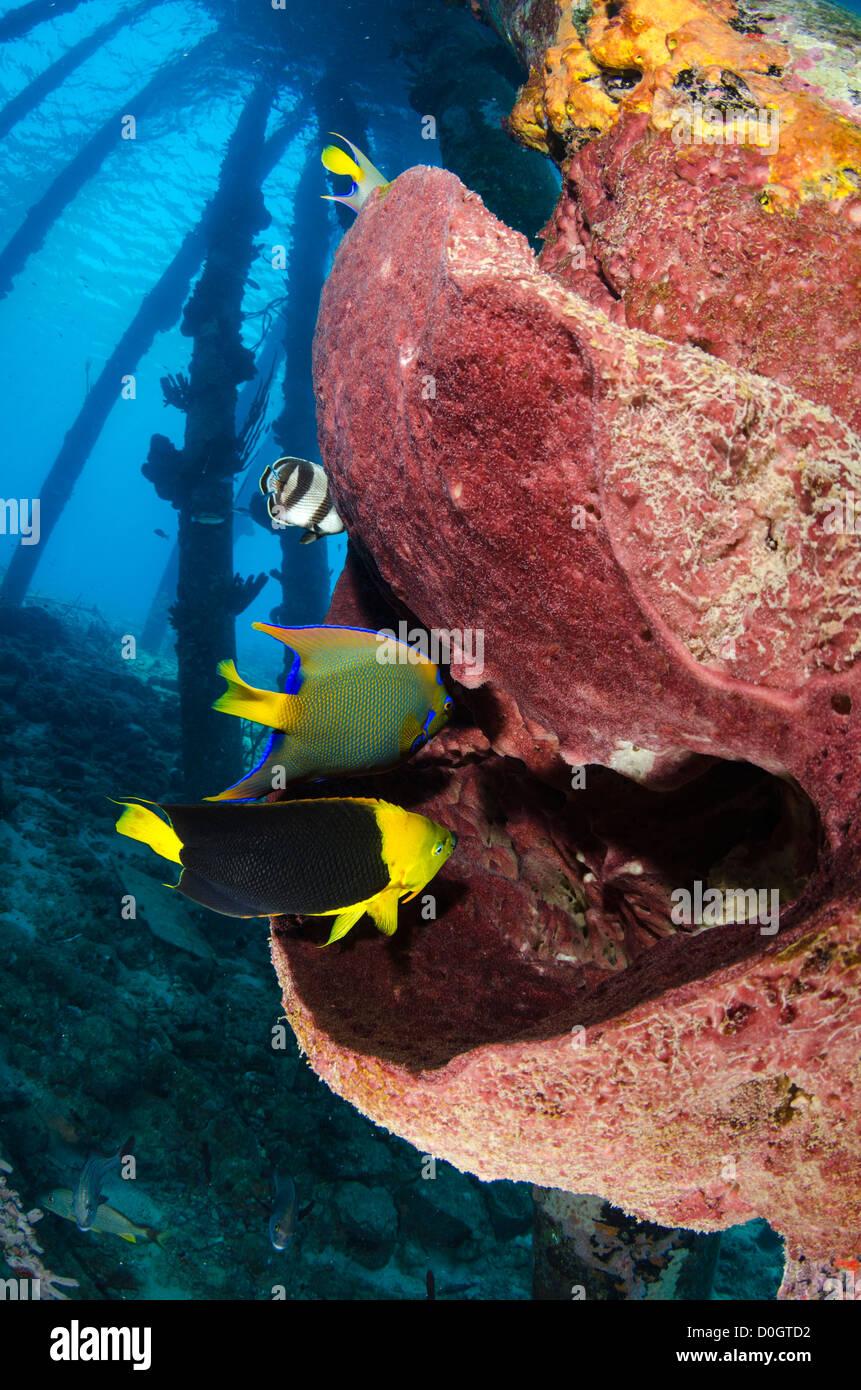 Queen Angel Fish Stock Photos & Queen Angel Fish Stock Images - Alamy