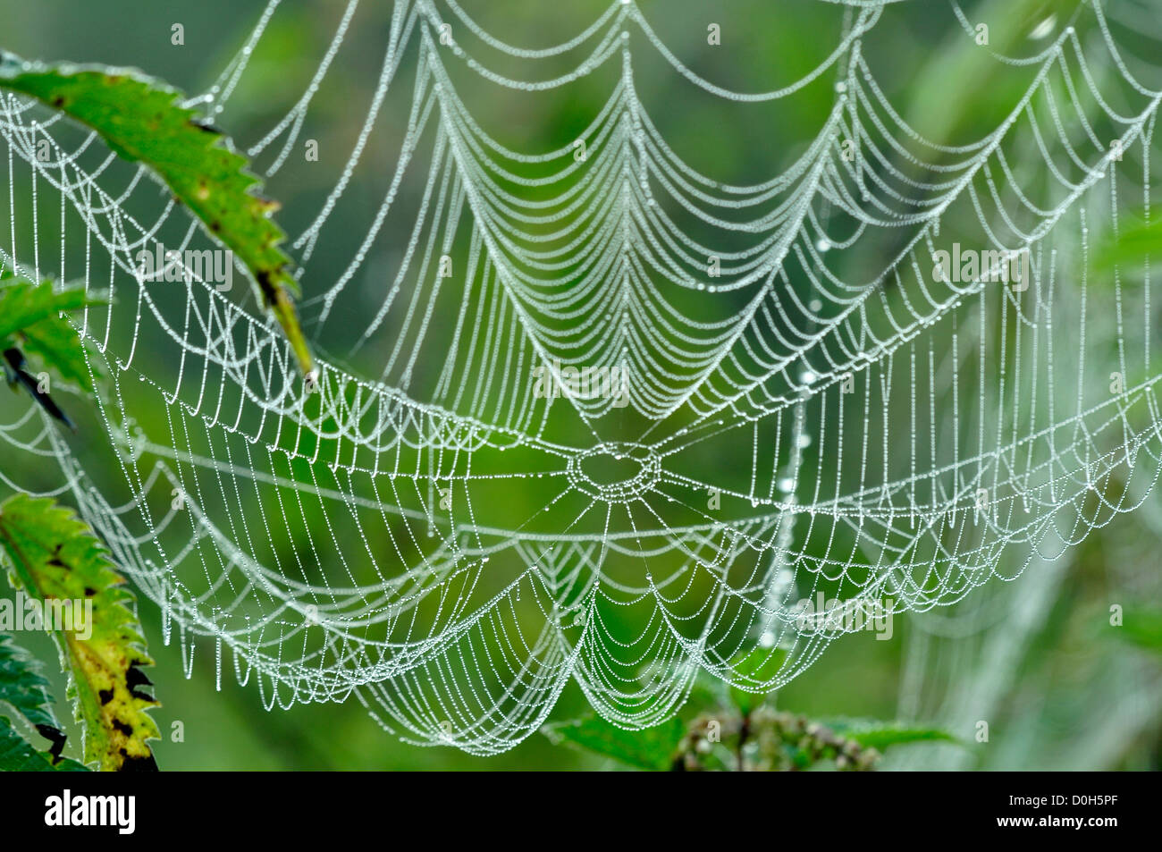 Orb web covered in dew at dawn. - Stock Image