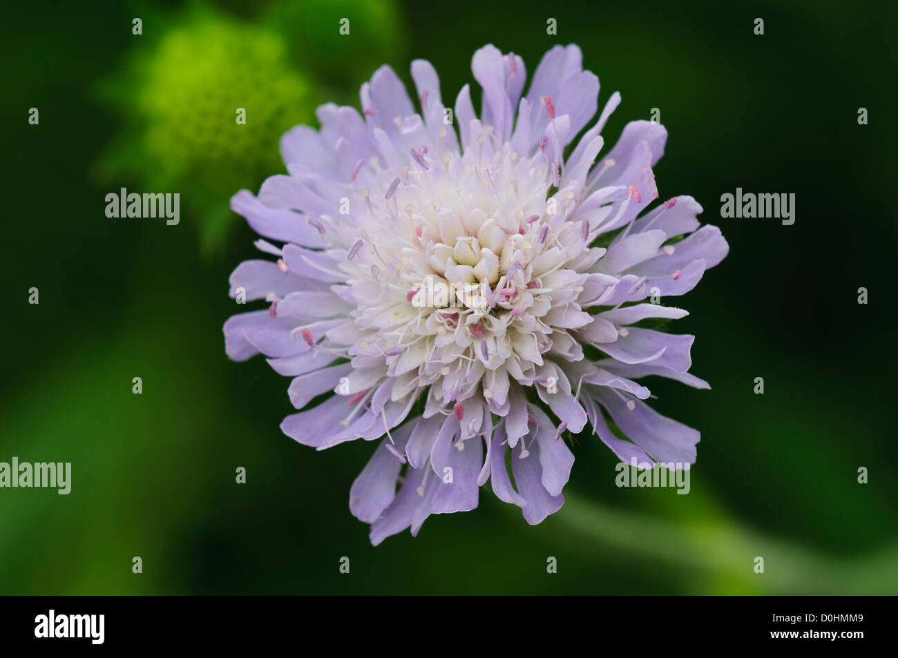 A small scabious flower (Scabiosa columbaria) blooming at Crossness Nature Reserve, Bexley, Kent. june. - Stock Image