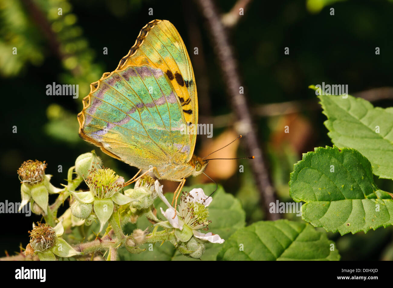 A silver-washed fritillary (Argynnis paphia) feeding on bramble flowers and displaying its irridescent underwings. Stock Photo