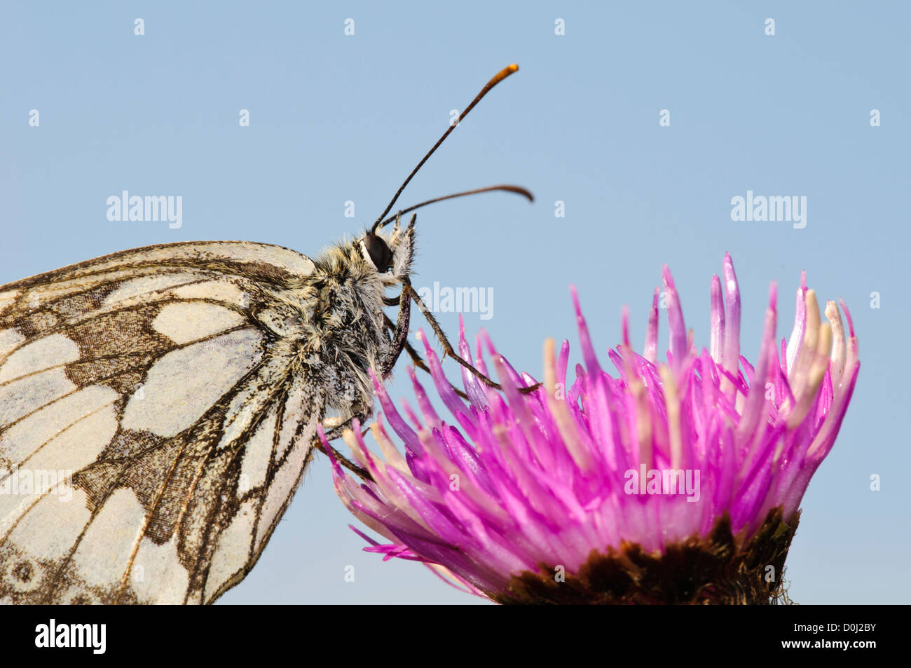 A marbled white butterfly (Melanargia galathea) perched on a flower of greater knapweed (Centaurea scabiosa) in - Stock Image