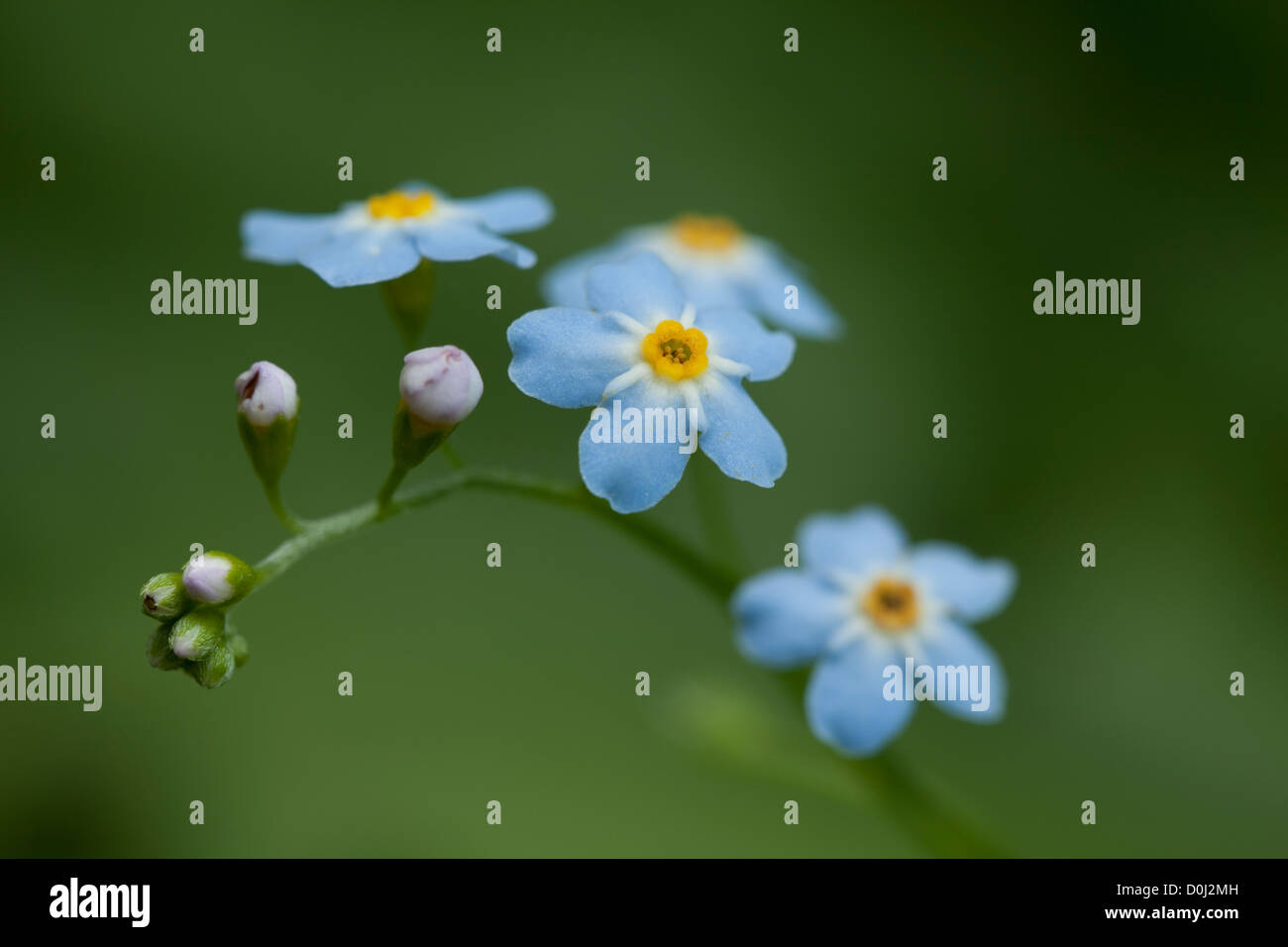 blue small flower (Myosotis arvensis) on meadow Stock Photo