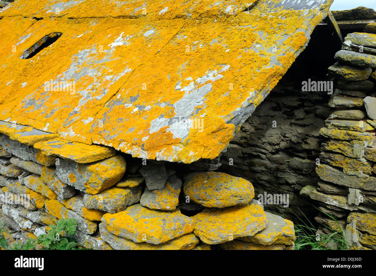 Split stone slabs covered in orange lichen used as roofing tiles on a derelict stone hut.  Mainland, Orkney, Scotland Stock Photo