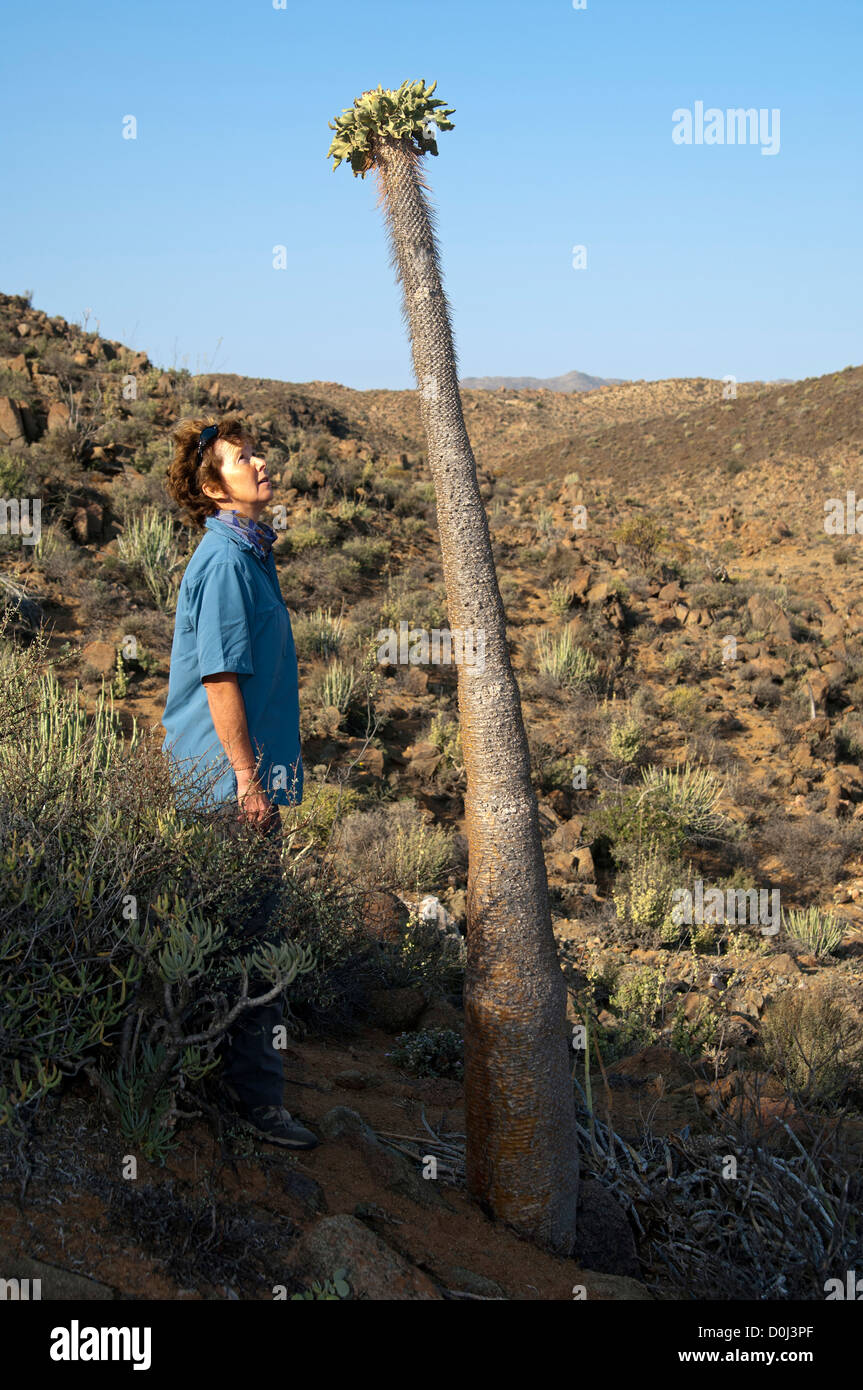 Woman looking at a Halfmens (Pachypodium namaquanum) grown above head height, Richtersveld National Park, South - Stock Image