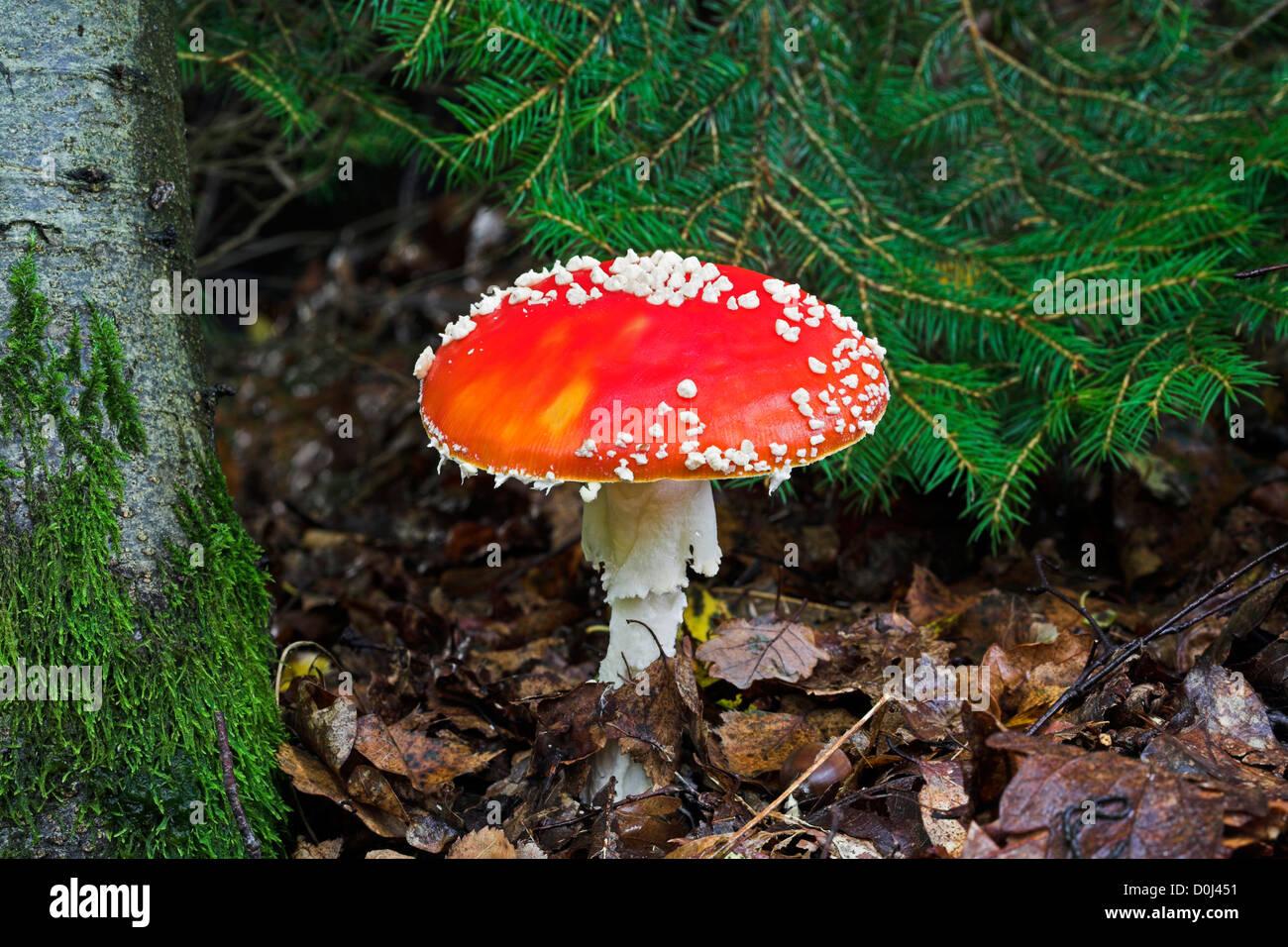 Fly Agaric mushroom on forest floor. - Stock Image