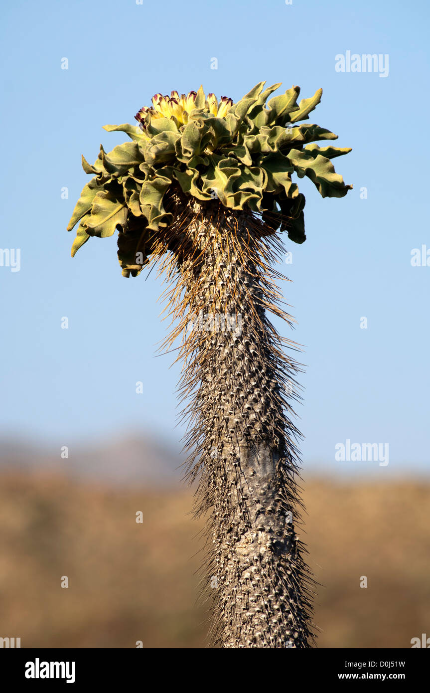 Inflorescence of Pachypodium namaquanum, Richtersveld Transfrontier National Park, South Africa - Stock Image