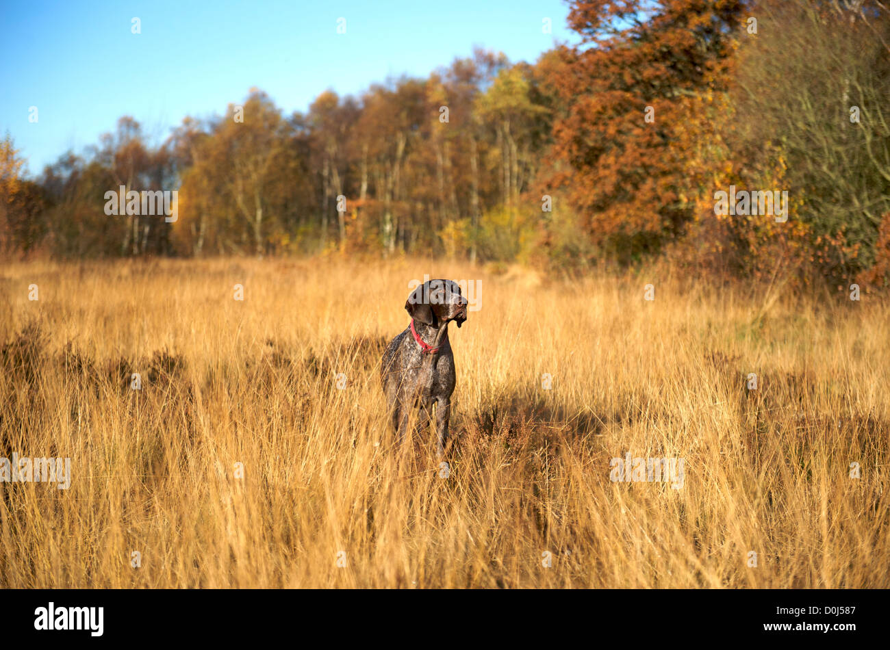 A German Shorthaired Pointer working in the long grass - Stock Image