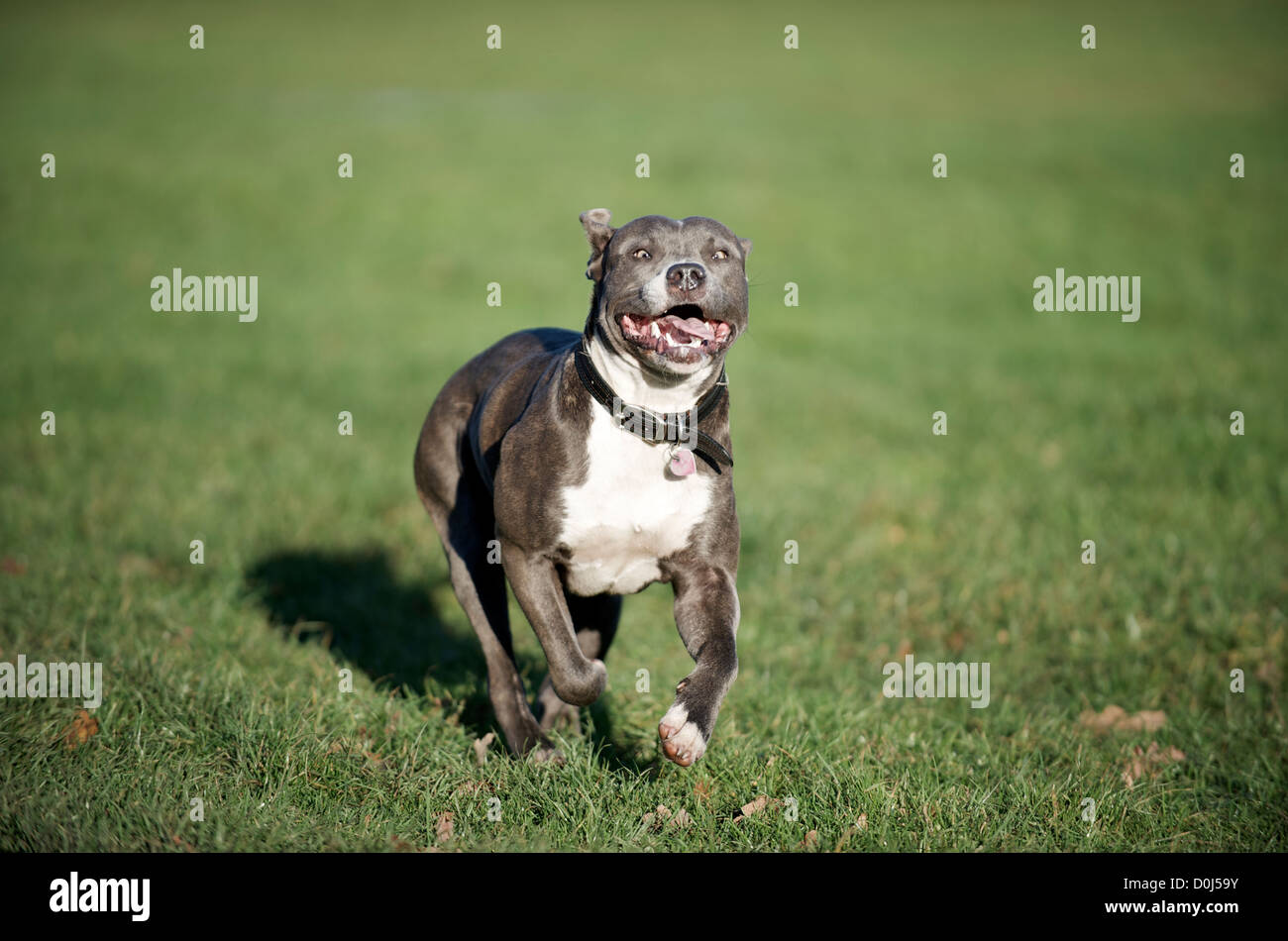 A Blue Staffordshire Bull Terrier running on the Common - Stock Image
