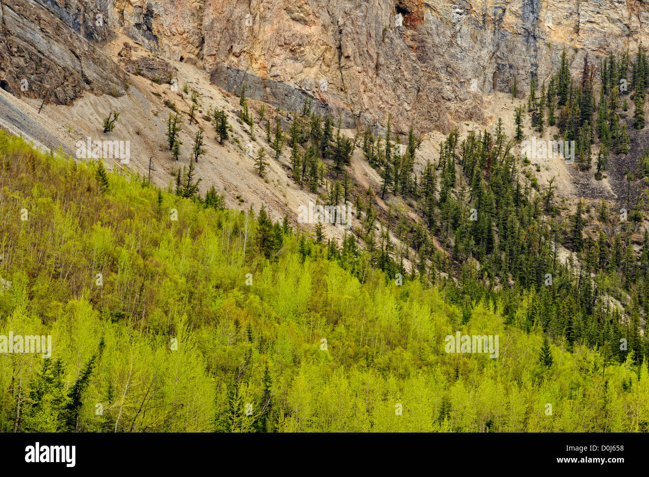 Aspens leafing out on the slopes near Kicking Horse Pass, Yoho NP, BC, Canada - Stock Image
