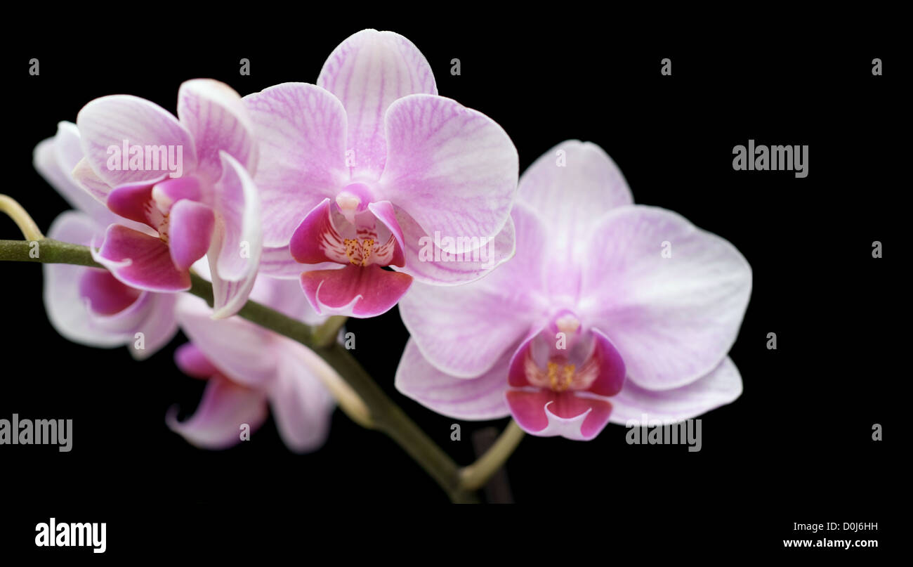 Four orchis flowers on black; Focus on middle one; Shallow depth of field; - Stock Image