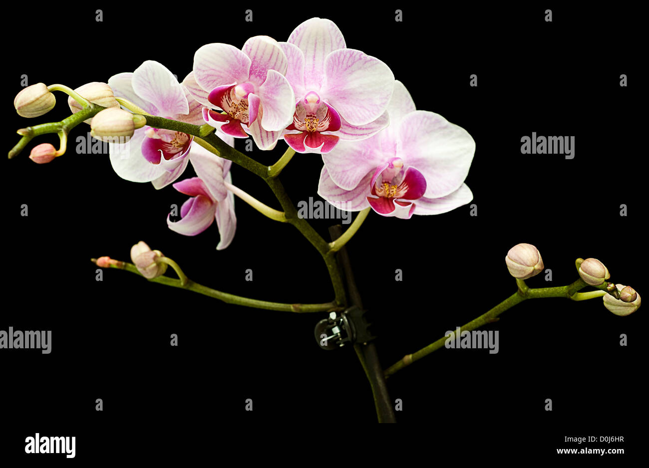 orchis on black - Stock Image