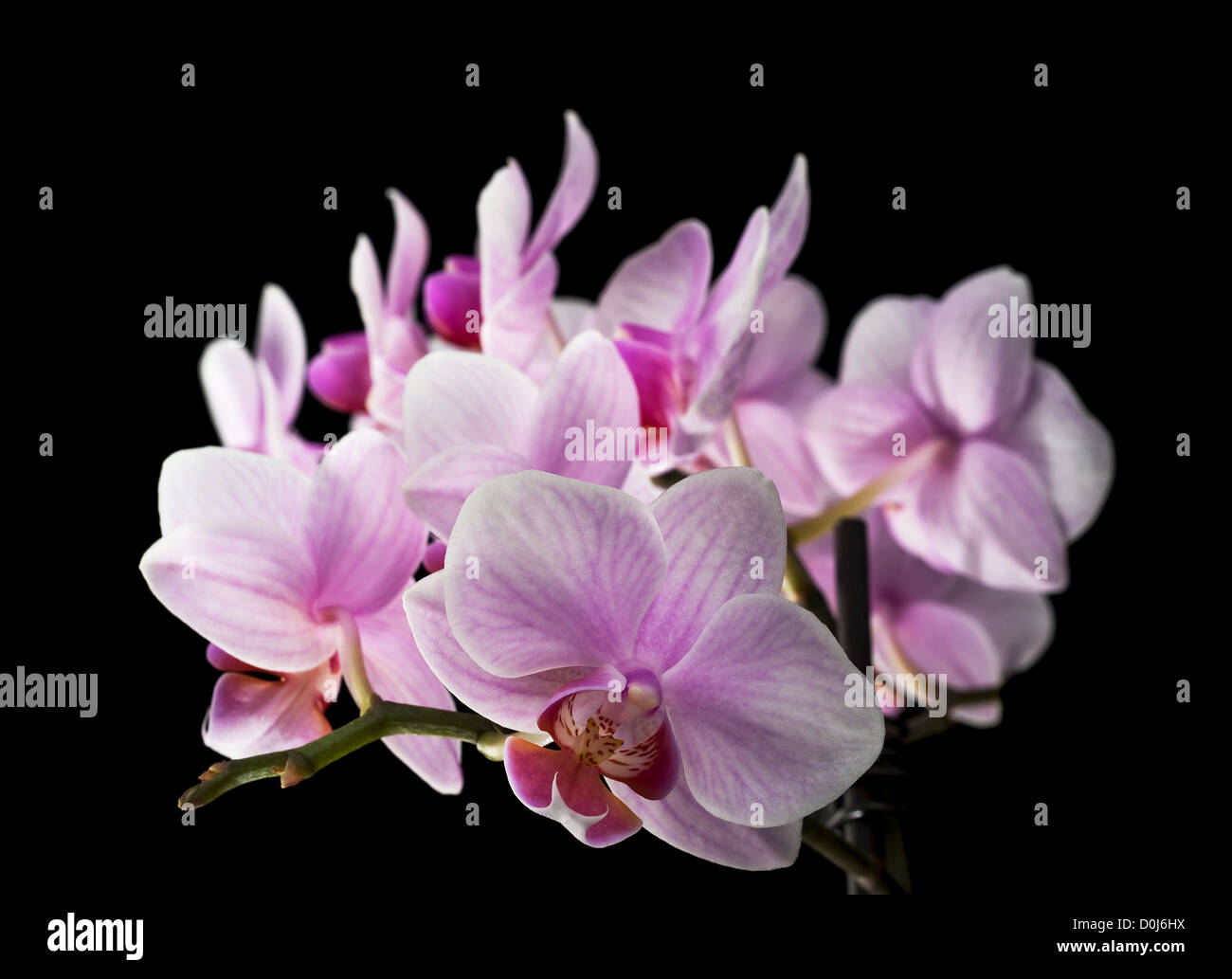 blooming orchis on black background - Stock Image