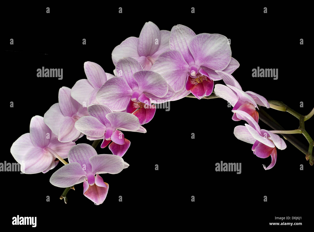 blooming orchis on black - Stock Image