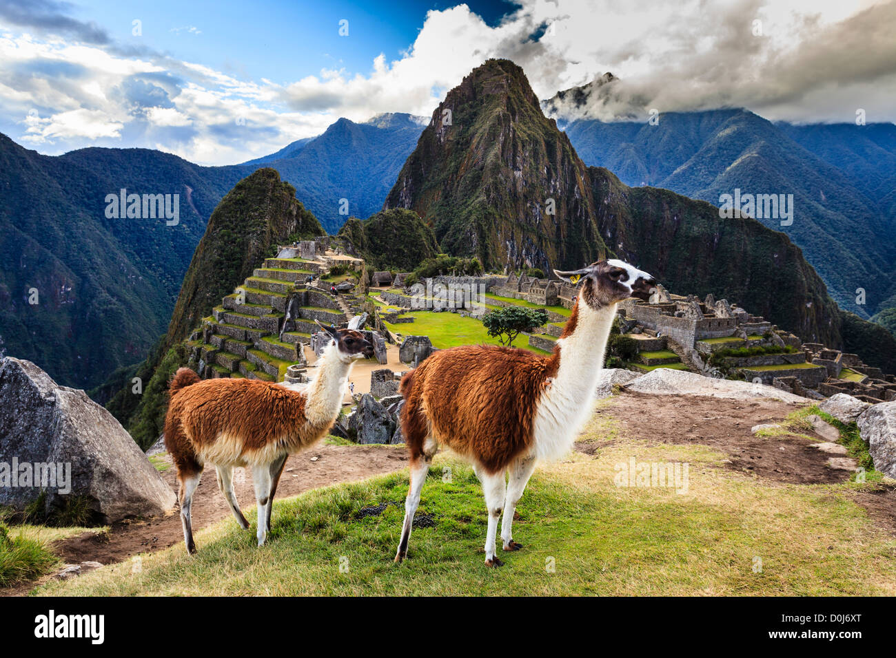 Llamas in Machu Picchu Archeological Site, Cuzco Province, Peru - Stock Image