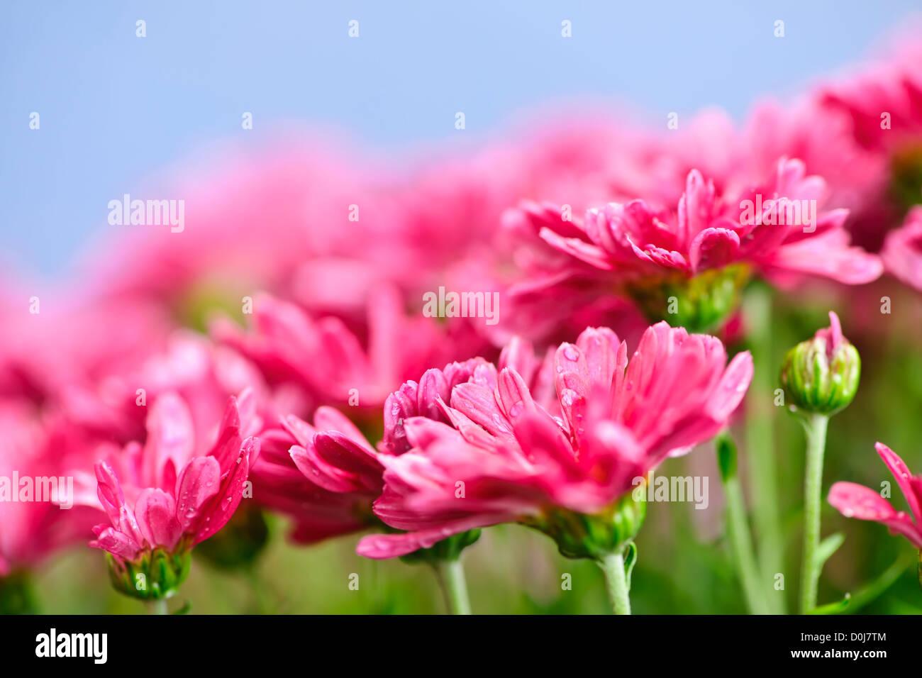 Pink Flowers Chrysanthemums Stock Photos Pink Flowers
