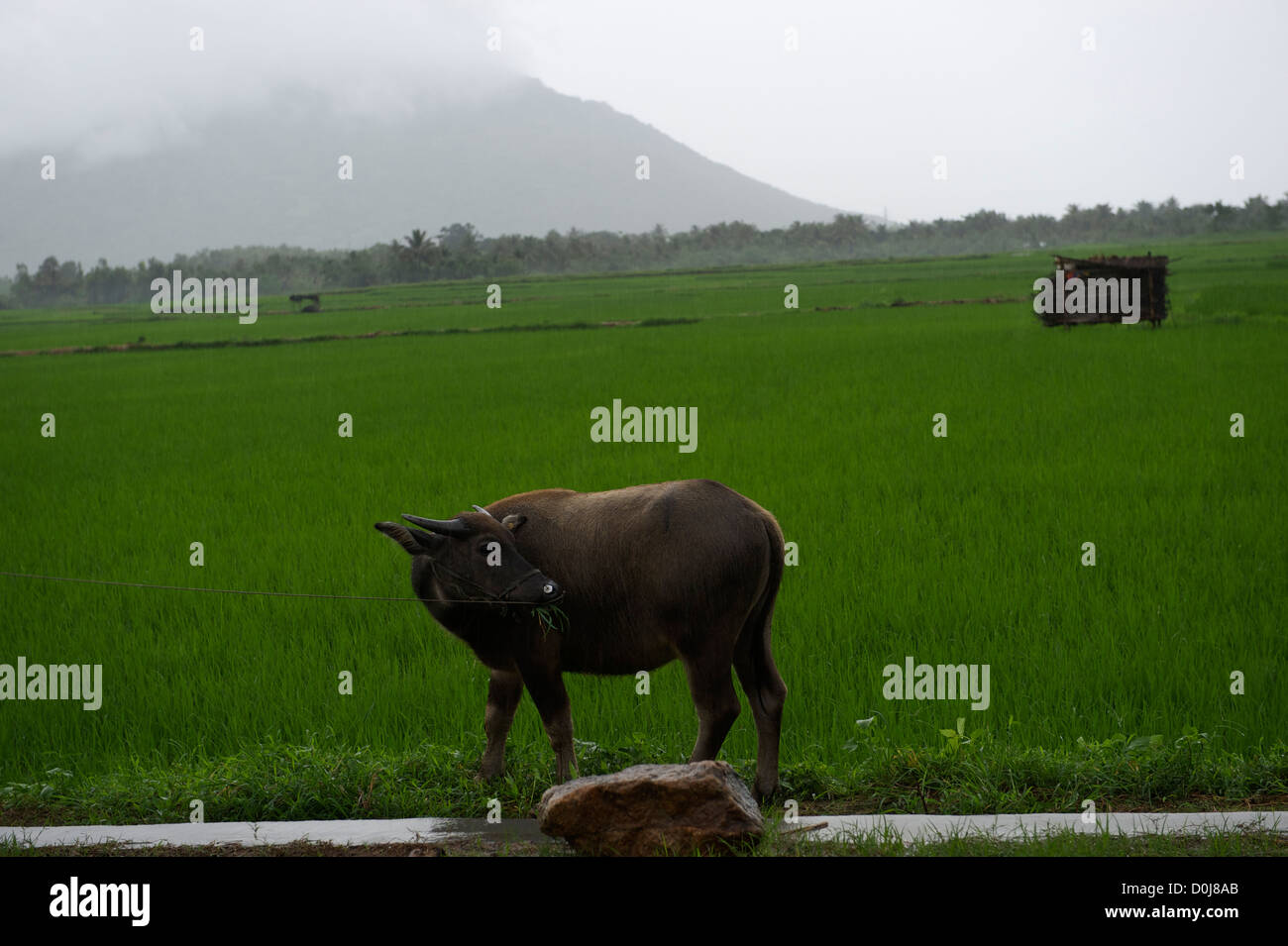 A water buffalo eating grass alongside the paddy fields in Sanya, Hainan province, China. 11-Aug-2008 - Stock Image