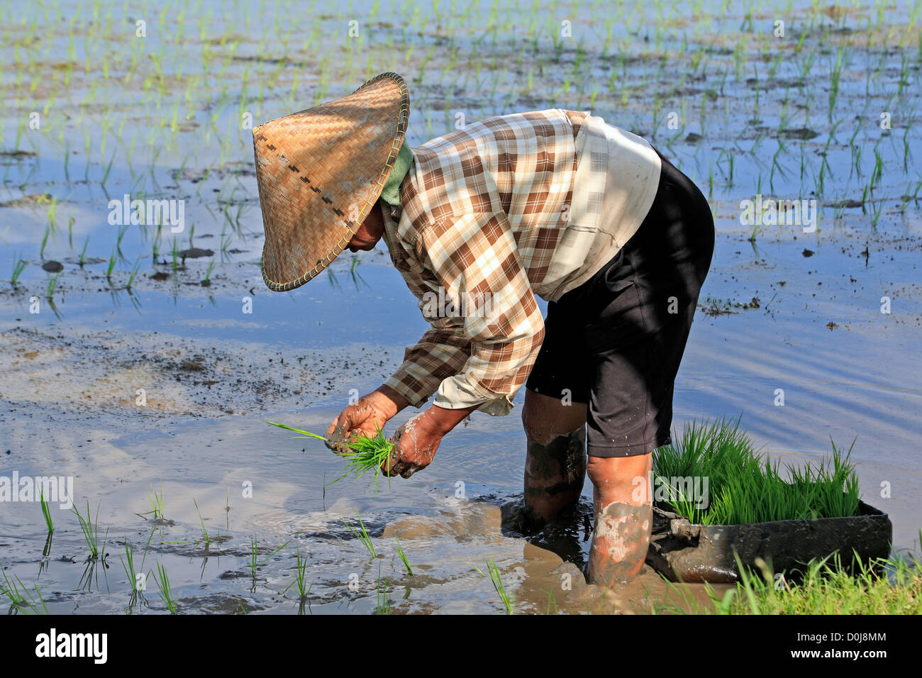 Farmer planting rice wearing a conical hat, near Ubud. Bali, Indonesia - Stock Image