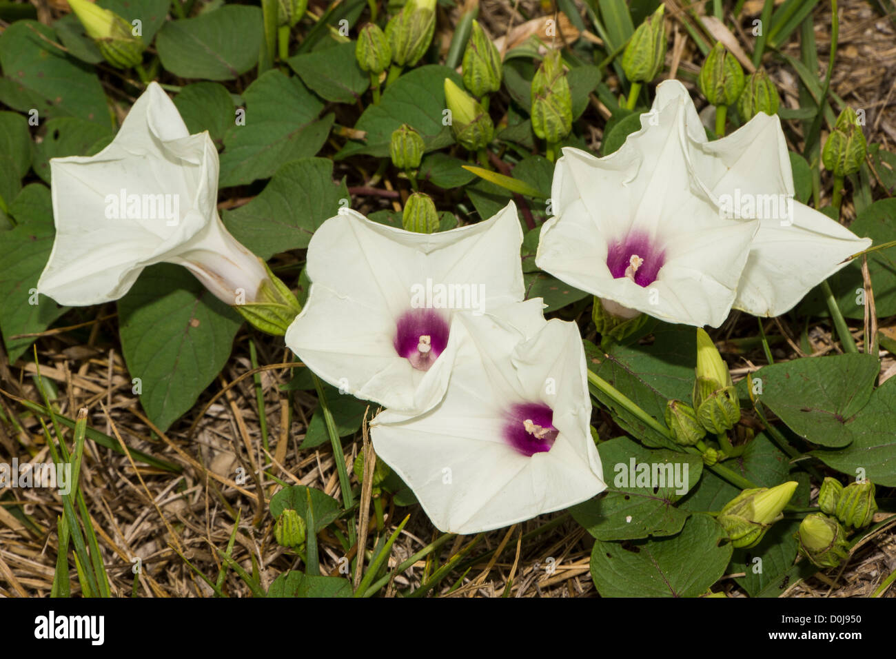 Agricultural invasive Field Bindweed - Stock Image