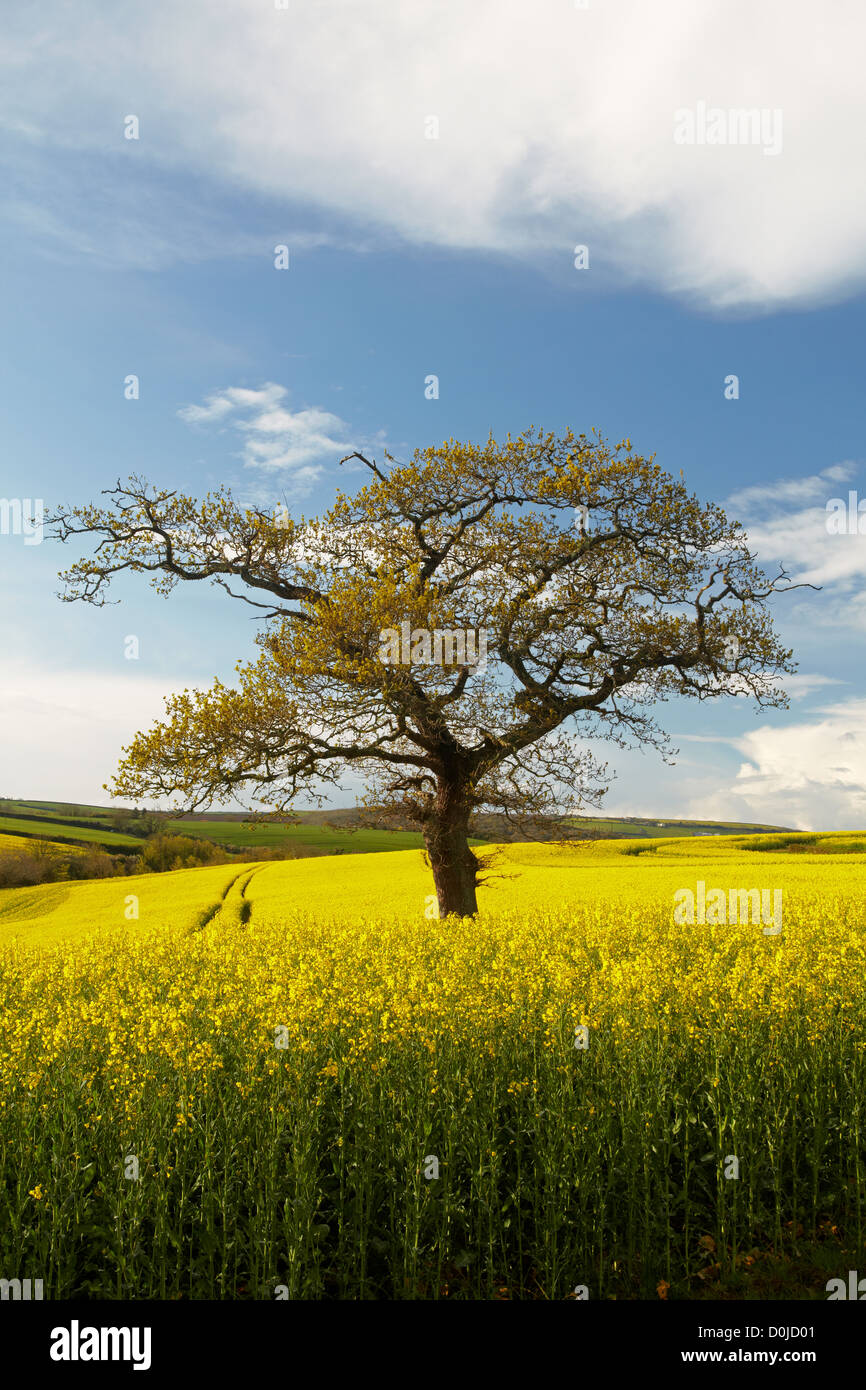 Small tree in amongst a rapeseed field in the South Devon countryside. - Stock Image