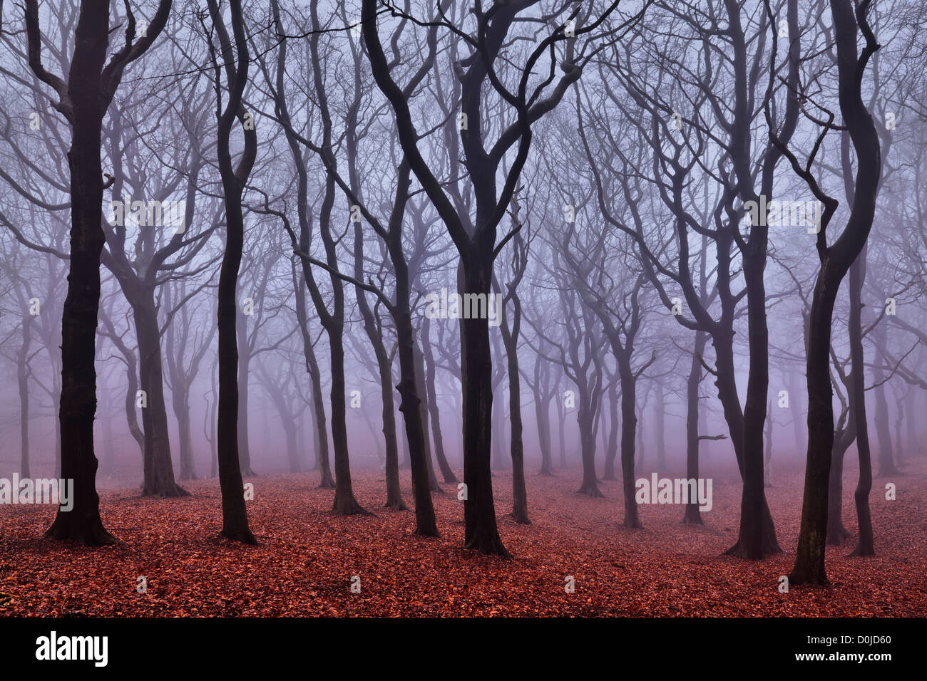 Mist hangs in Tandle Woods in Tandle Hill Country Park. - Stock Image