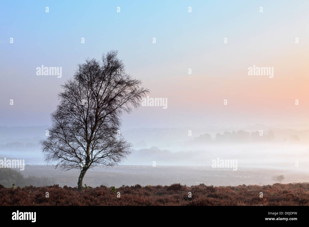 A lone tree at Mogshade Hill in the New forest. - Stock Image