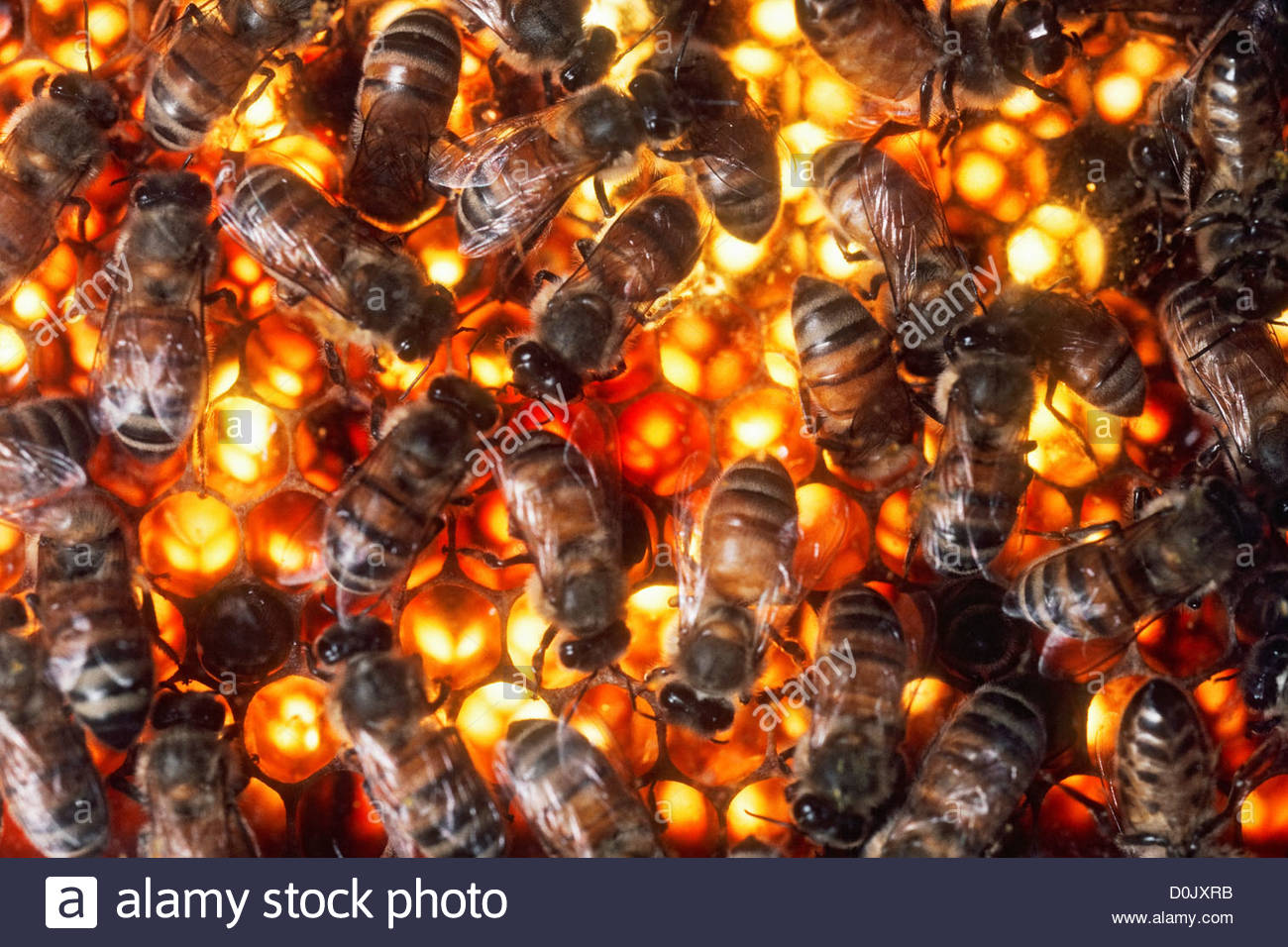 Africanized bees are considered to be more  aggressive than the average honeybee. - Stock Image