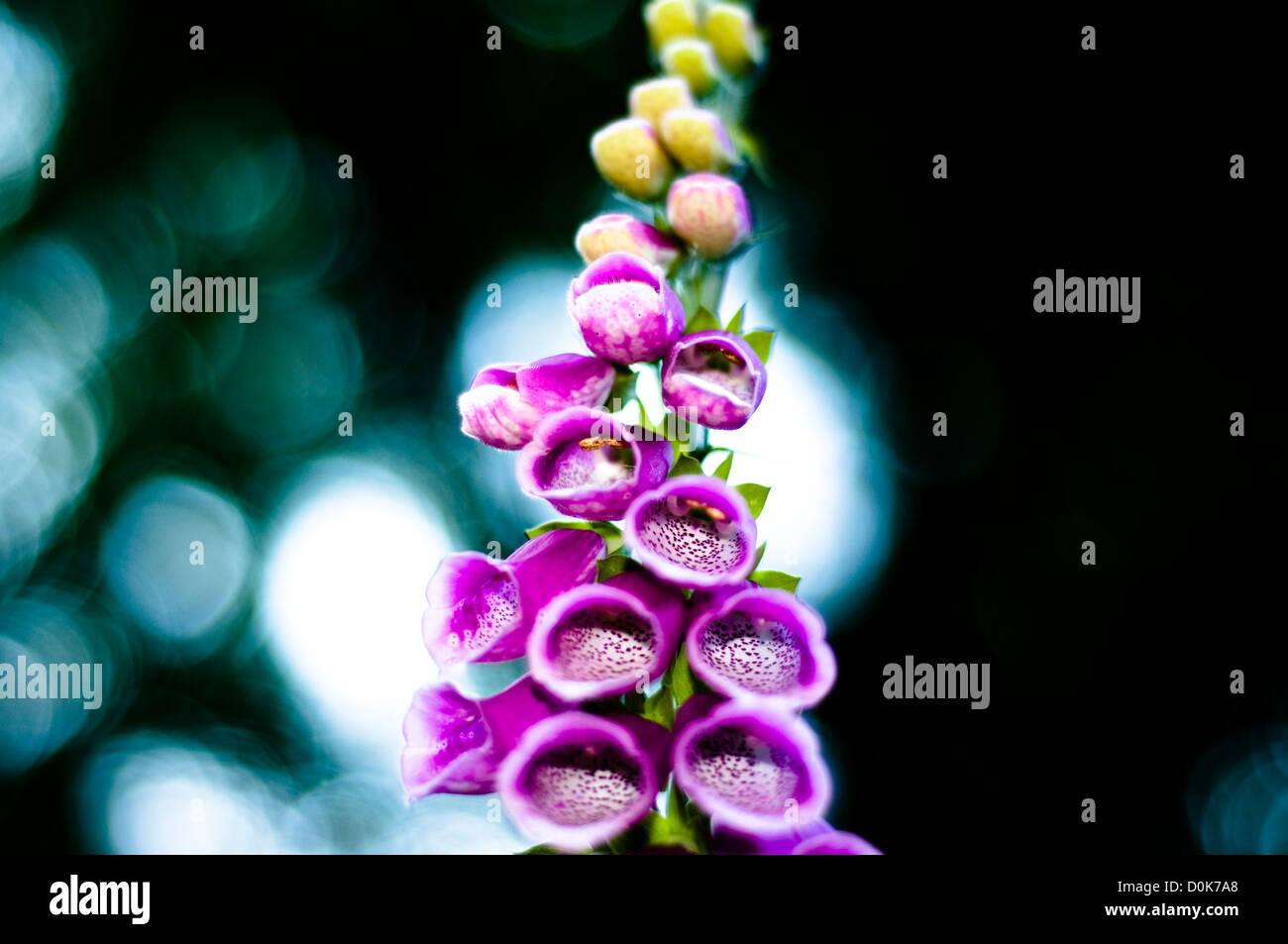 Detail of a Foxglove. - Stock Image