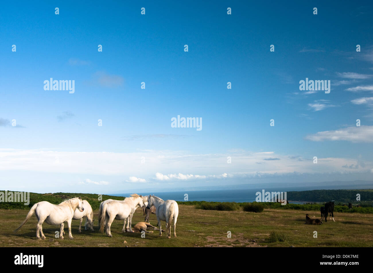 Wild horses on a welsh cliff. - Stock Image