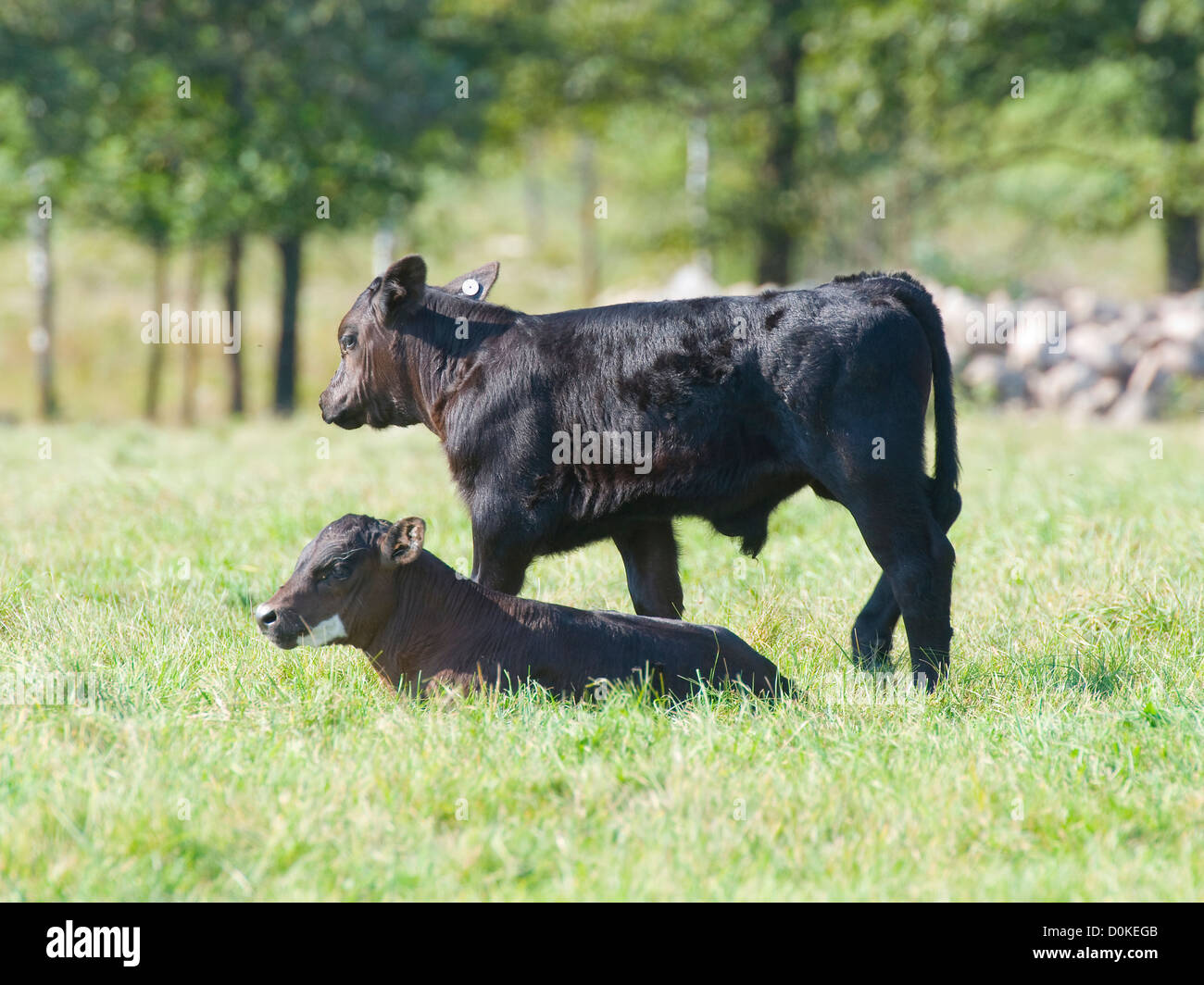 Angus Beef Cattle and Calves - Stock Image