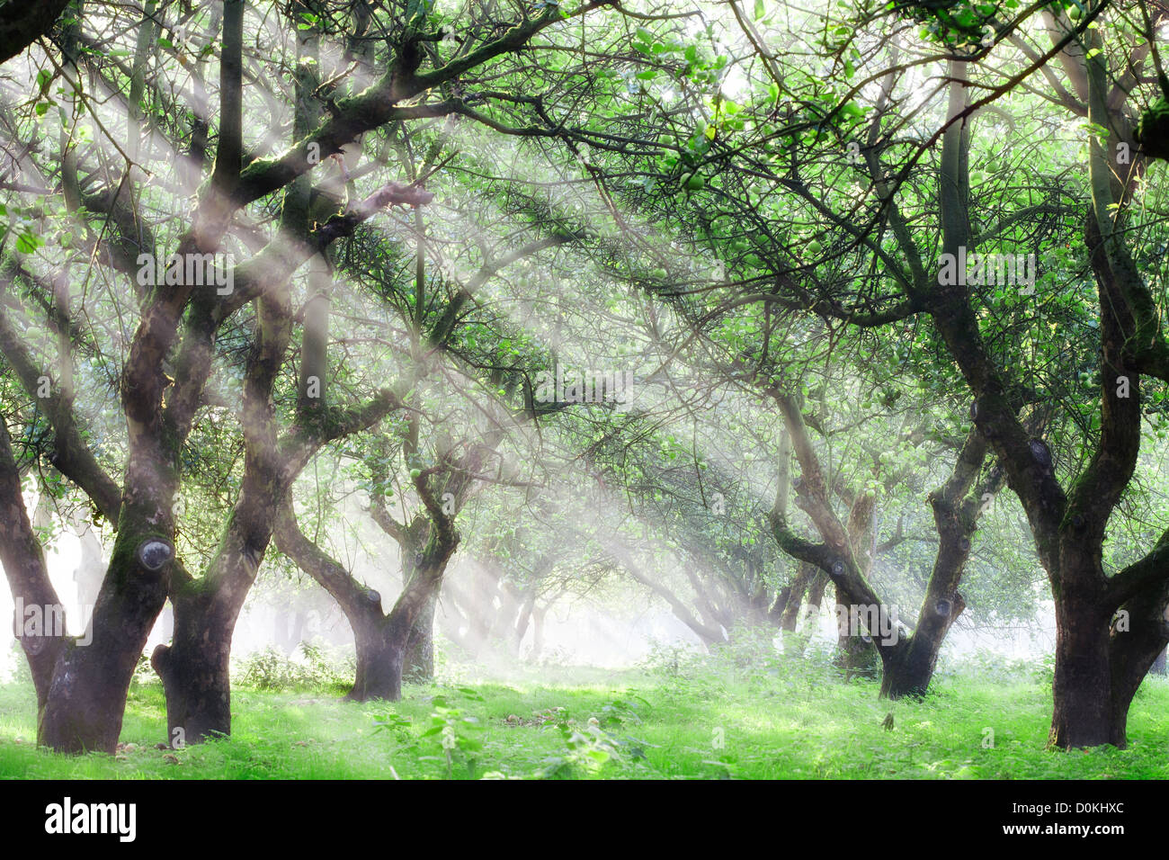 Sunlight shines through an apple orchard on a misty morning. - Stock Image