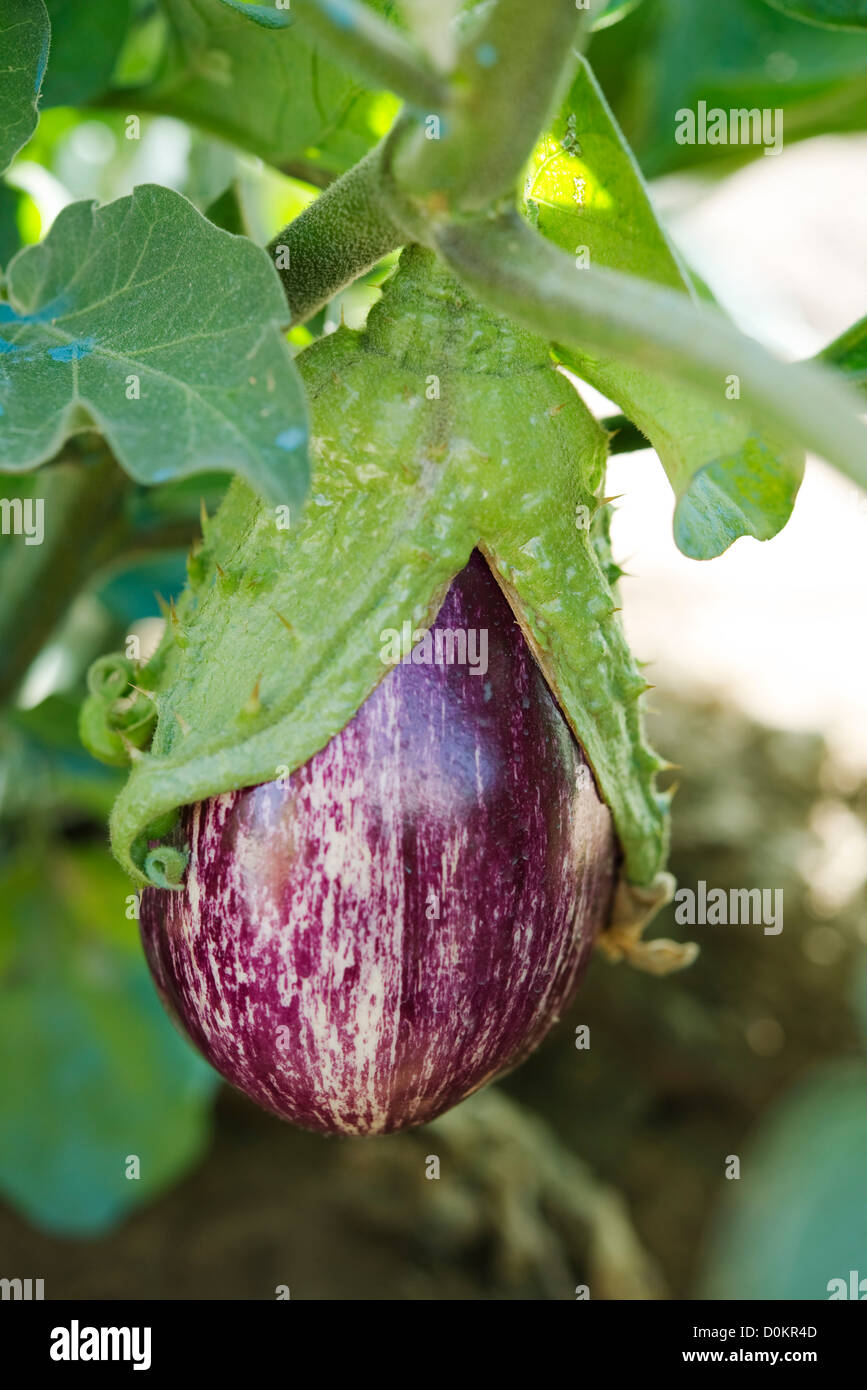 Plant eggplant in a vegetable garden, close-up - Stock Image