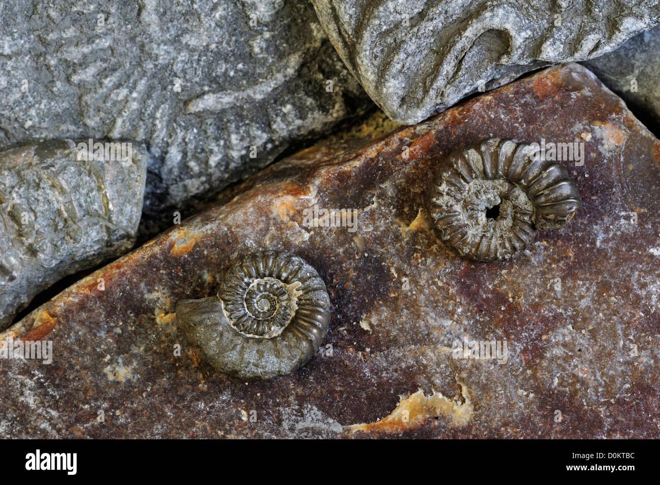 Ammonite fossils (Promicroceras planicosta) on shingle beach near Lyme Regis, Jurassic Coast, Dorset, southern England, UK Stock Photo