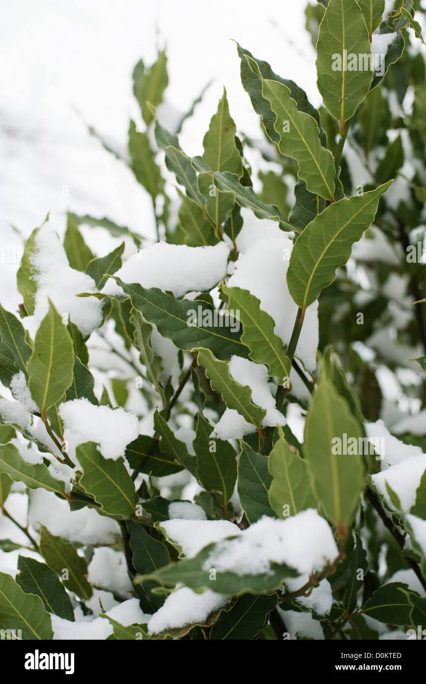 Laurel under snow - Stock Image