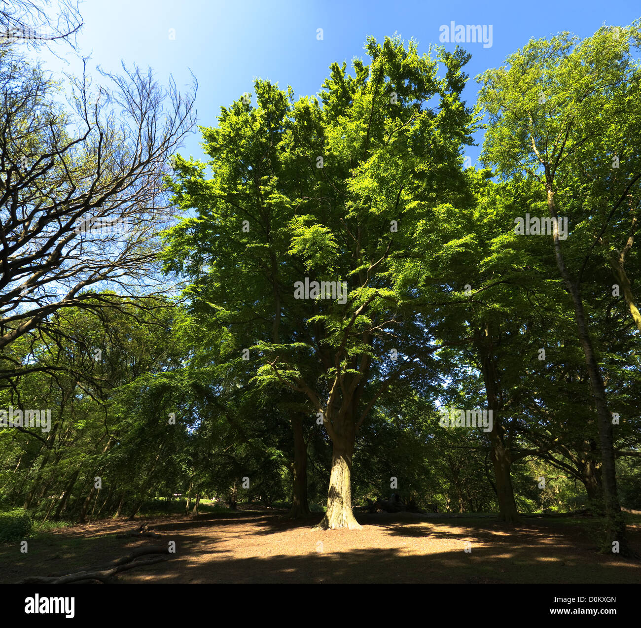 A big tree in the forests of Hampstead Heath. - Stock Image