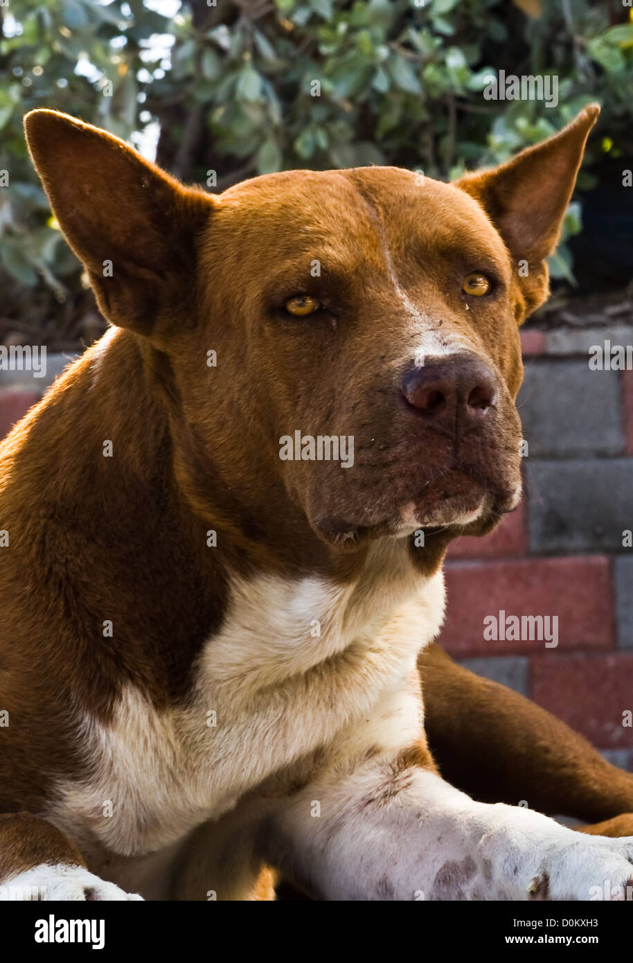 An island dog all laid back in the morning sun. - Stock Image