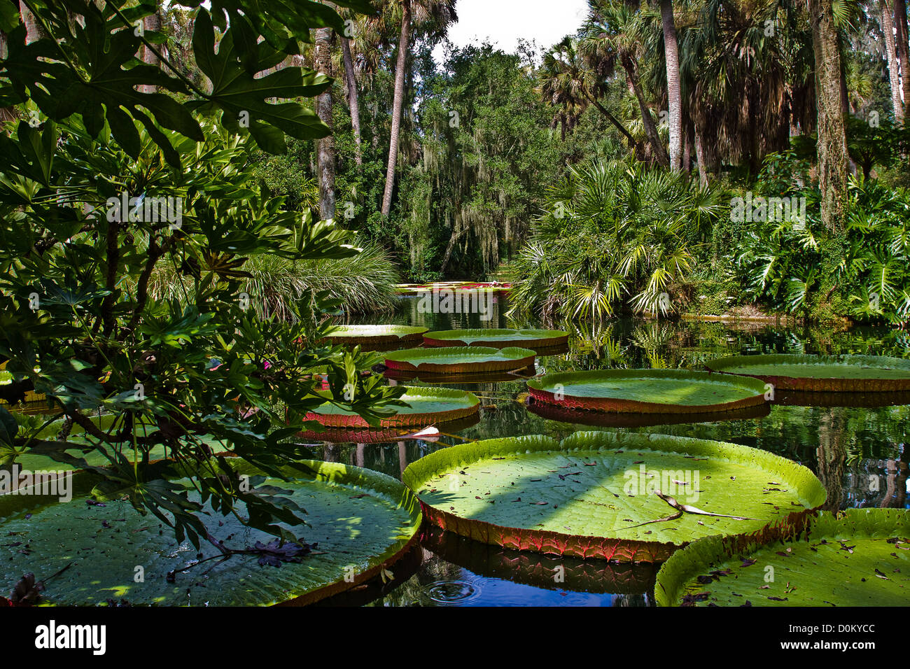 Huge Lily Pads at Bok Tower. - Stock Image