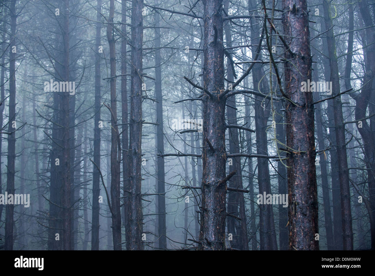 Mature conifer woodland shrouded in wet misty conditions - Stock Image