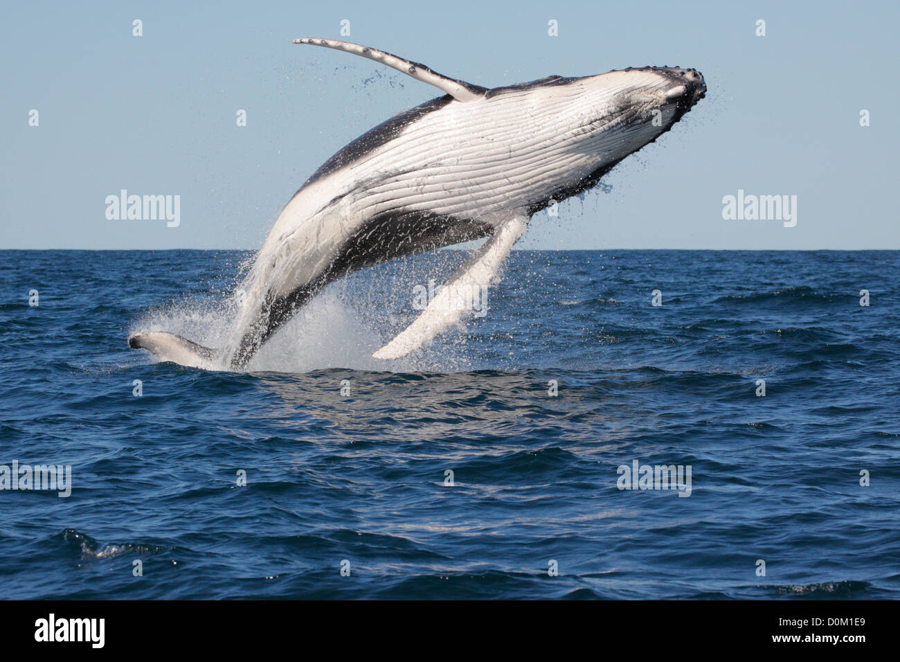 Young Humpback Whale (Megaptera novaeangliae) breaching, leaping in Byron Bay, New South Whales, Australia - Stock Image