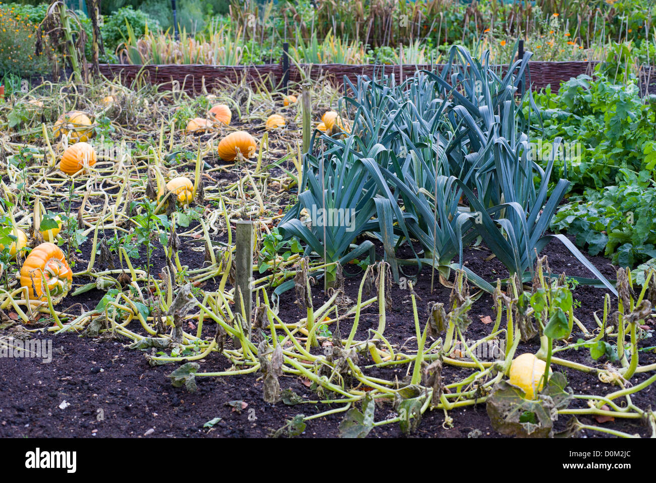 Autumn garden with pumpkins ready for harvest and leek bed - Stock Image