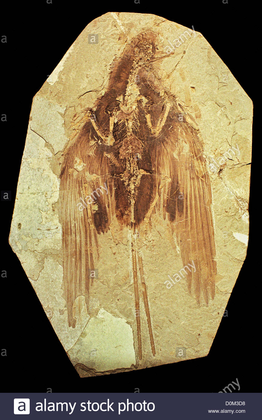 An unidentified Mesozoic fossil found in China traits resembling both birds dinosaurs. Feathers are rarely preserved - Stock Image