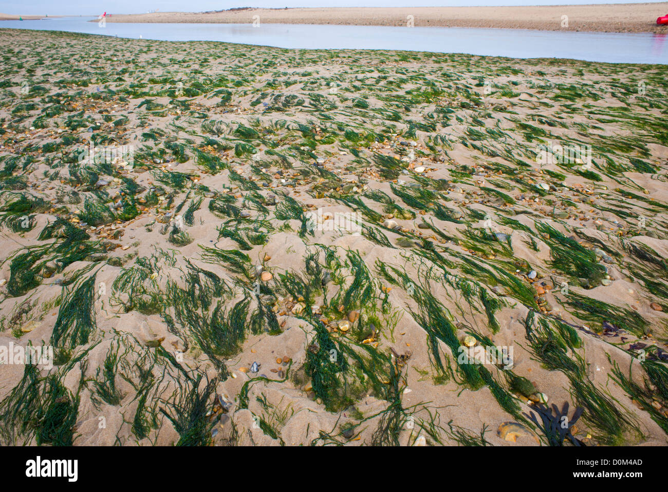 Enteromorpha (Enteromorpha spp.) exposed on sandbank at low tide, Wells next the Sea, Norfolk, England, November - Stock Image