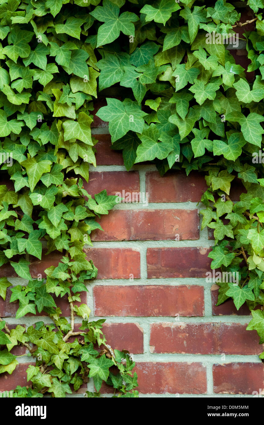 Ivy around the edges on a red brick wall - Stock Image