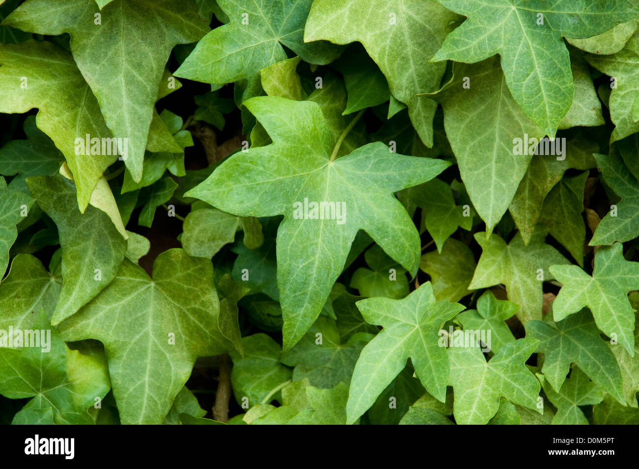 Ivy on a brick wall - Stock Image
