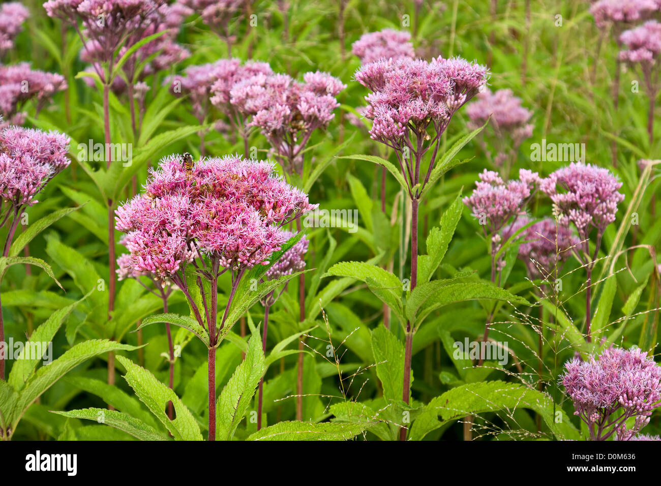 Joe-Pye Weed wild flowers, Eutrochium, growing in a field - Stock Image